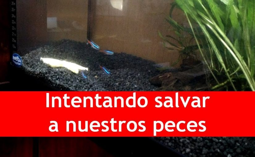 Intentando salvar a nuestros peces